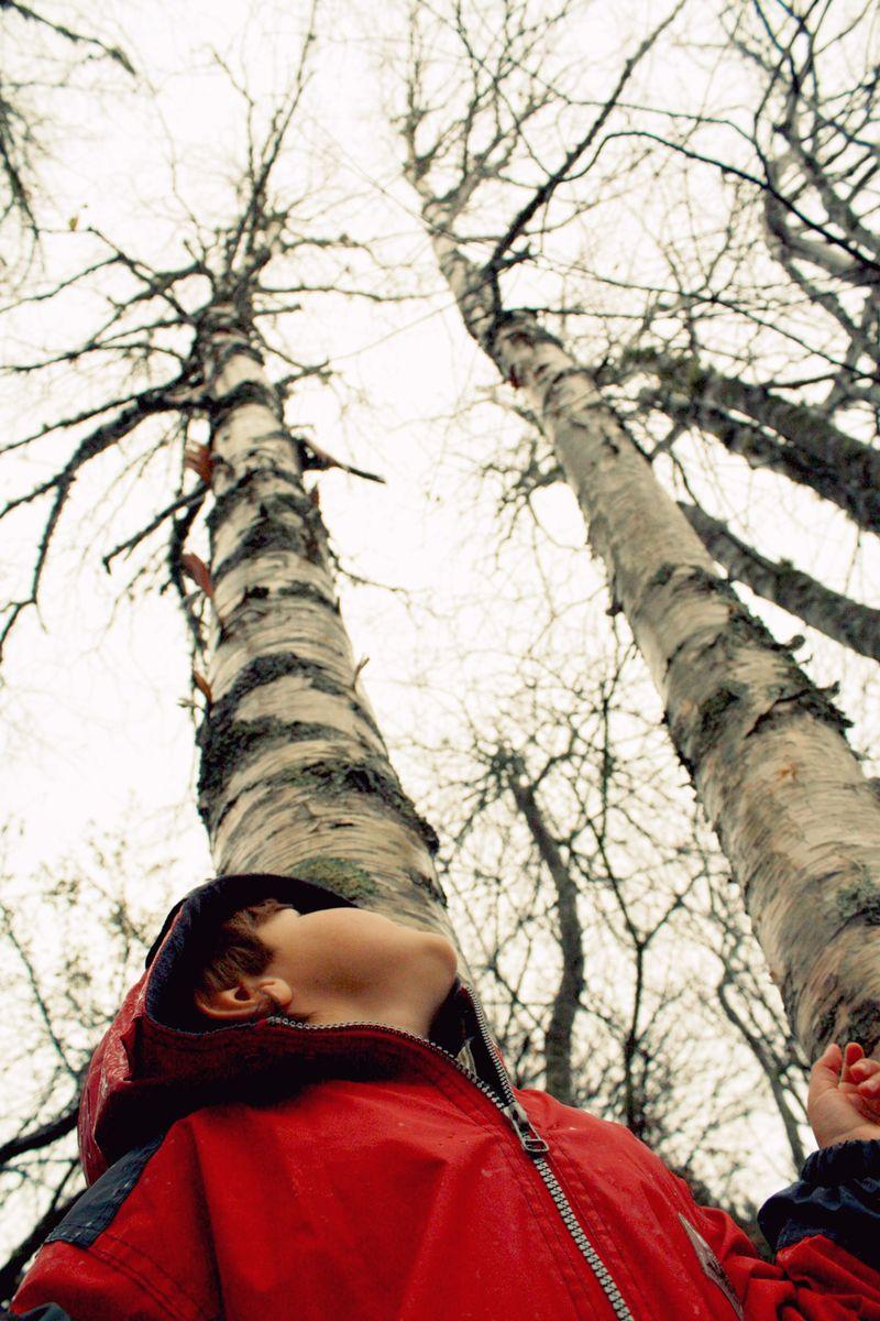 Birch Looking up lighter