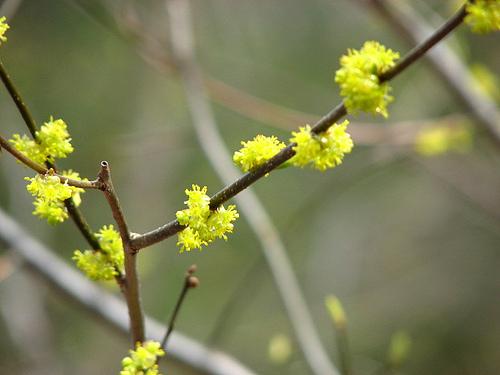 Spicebush donna long