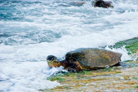 HI-sea-turtle