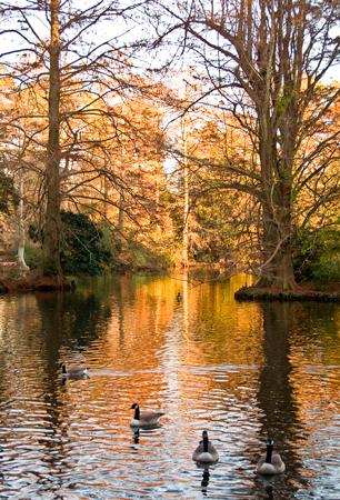 SC-swan-lake