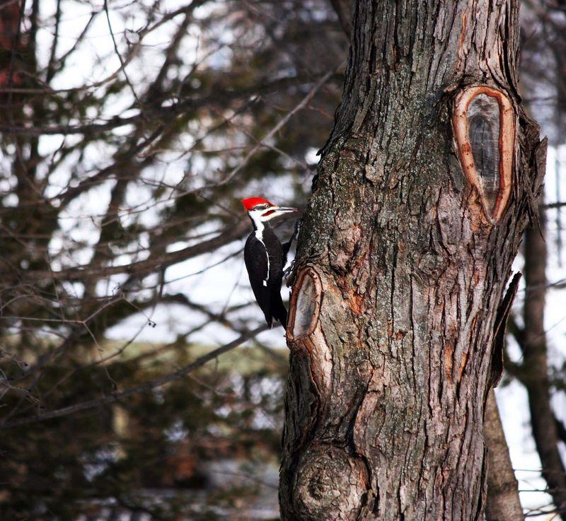 Backyard pileated woodpecker