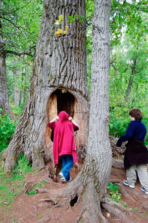 AK-hollow-tree