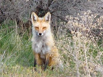 Cassi fox